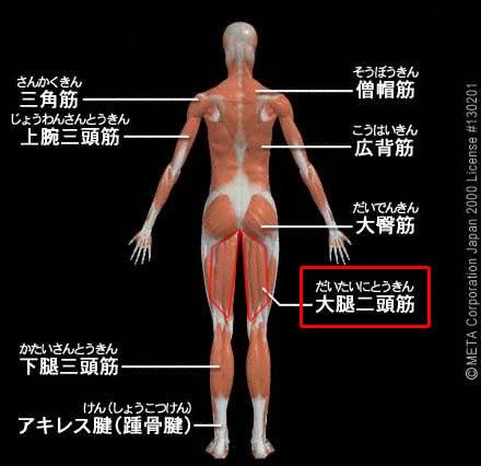 大腿二頭筋(だいたいにとうきん)