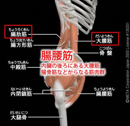 腸腰筋(ちょうようきん)