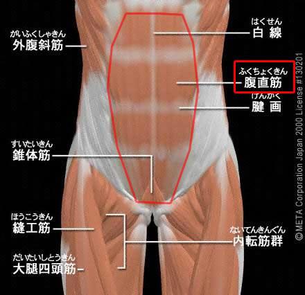 腹直筋(ふくちょくきん)