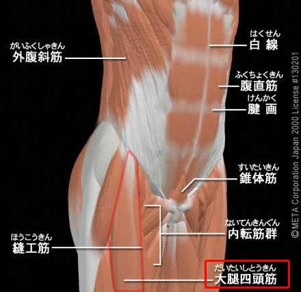 大腿四頭筋(だいたいしとうきん)