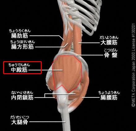 中臀筋(ちゅうでんきん)