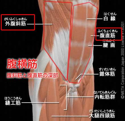 腹横筋(ふくおうきん)